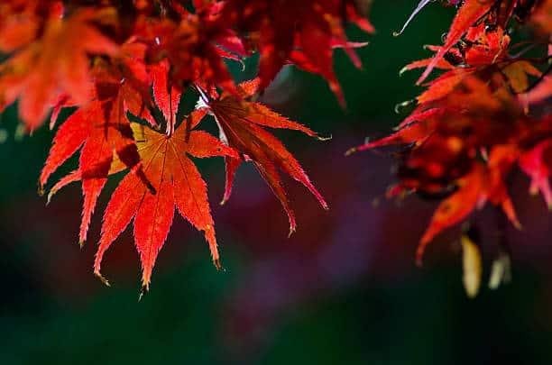 Cây phong lá đỏ nếu được chăm sóc đúng cách sẽ cho màu rất đẹp