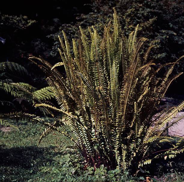 Cây dễ bị vàng lá và khô khi trồng dưới nắng gắt