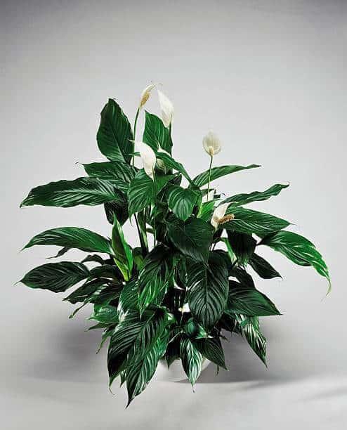 Trầu bà nở hoa màu trắng