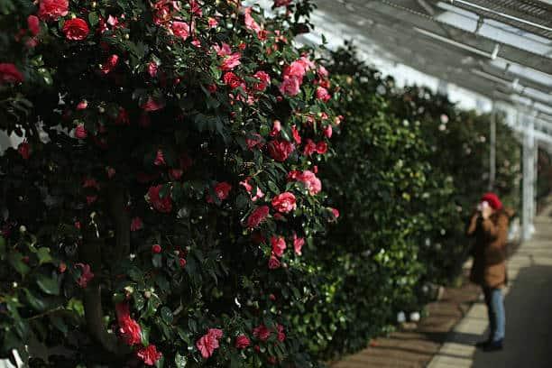 Hoa trà được trồng phổ biến ở nhiều nơi