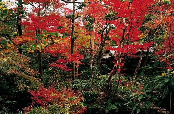 Phong lá đỏ trong rừng rậm