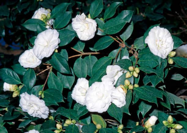 Hình ảnh hoa bạch trà