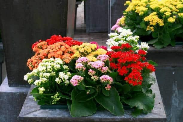 Hoa sống đời 5 màu