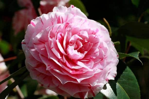 Hình ảnh hoa trà cung đình