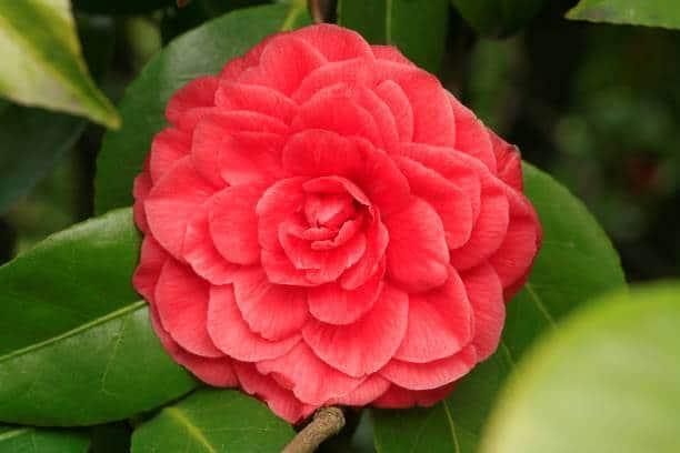 Hình ảnh hoa trà lựu