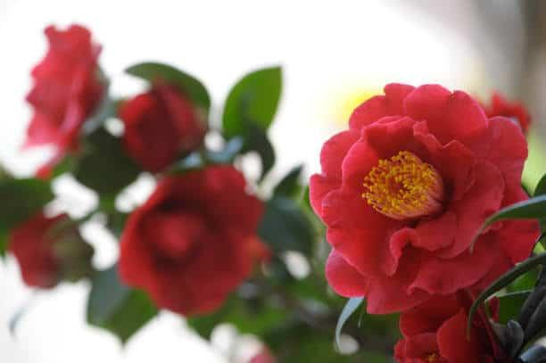 Hình ảnh hoa trà đỏ tàu