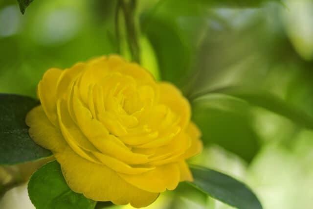 Hình ảnh hoa trà vàng