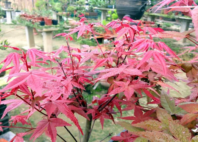 Cây phong lá đỏ được nhập về Việt Nam