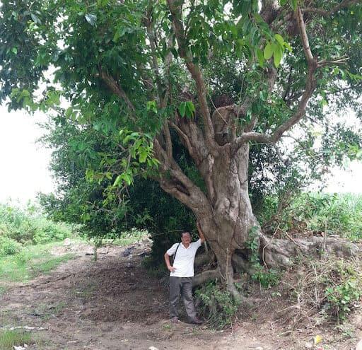 Hình ảnh cây vối cổ thụ ở Phú Yên