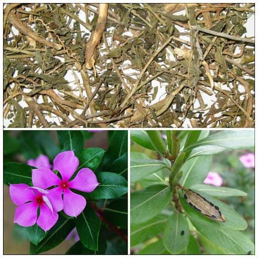 Hoa và hạt dừa cạn (dùng để nhân giống)