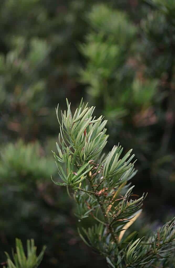 Cận cảnh lá cây tùng la hán