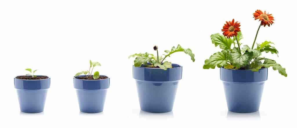 Hình ảnh minh họa quá trình phát triển của cây hoa đồng tiền