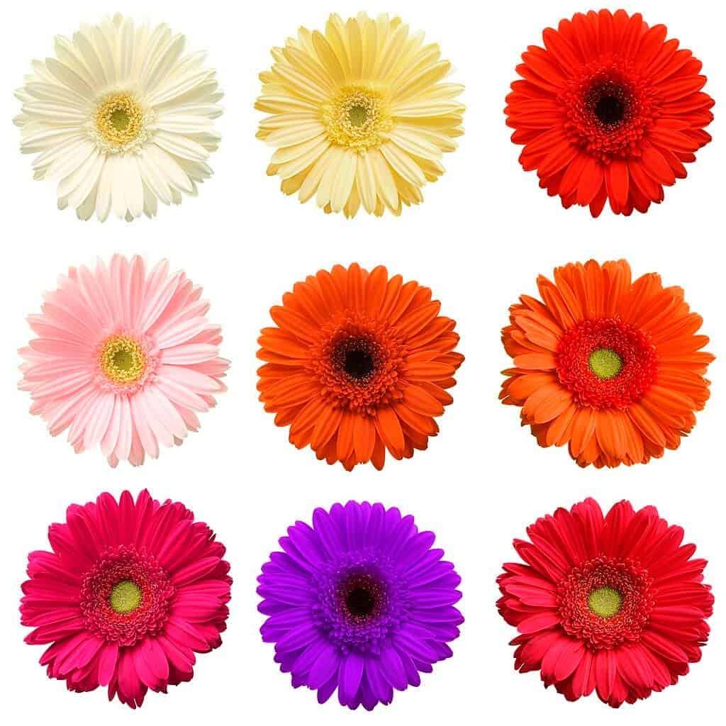 Có rất nhiều loài hoa và màu hoa đồng tiền khác nhau