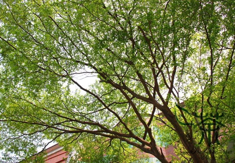 Hình ảnh cây bàng Đài Loan