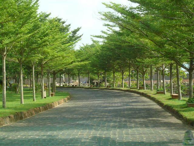 Cây được trồng phổ biến ở nhiều nơi