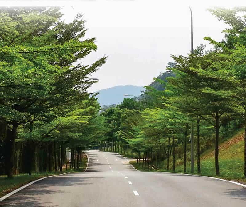 Bàng Đài Loan được trồng thành hàng thẳng tắp
