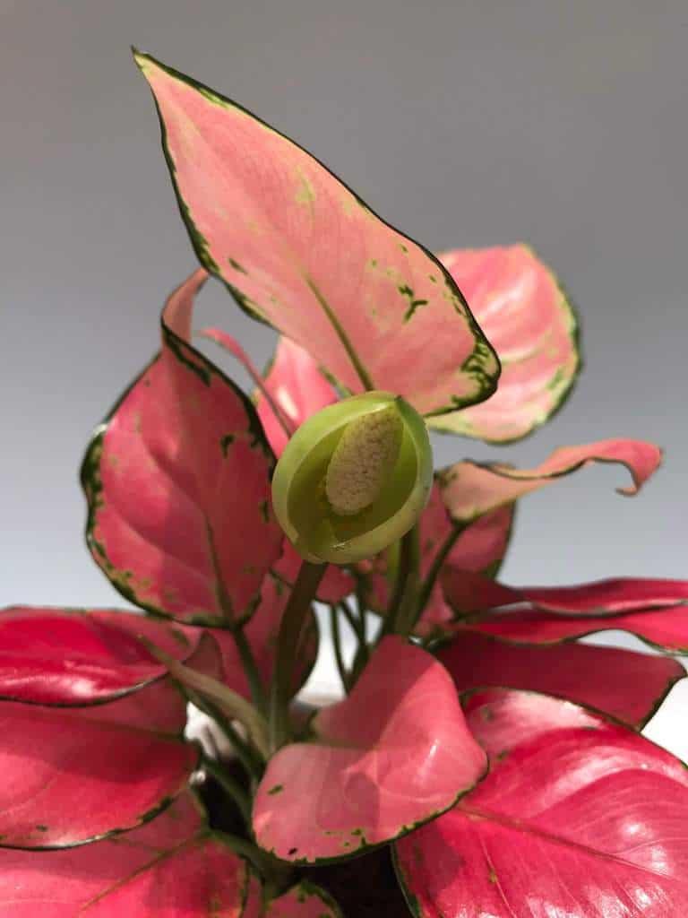 Cây vạn lộc nở hoa