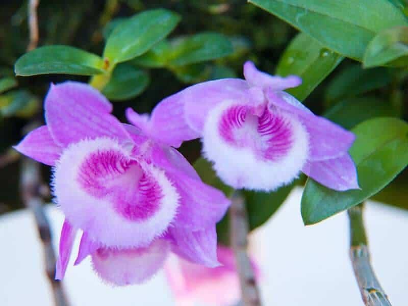 Hoa lan giả hạc tím