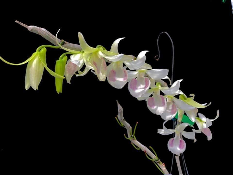 Hoa lan giả hạc