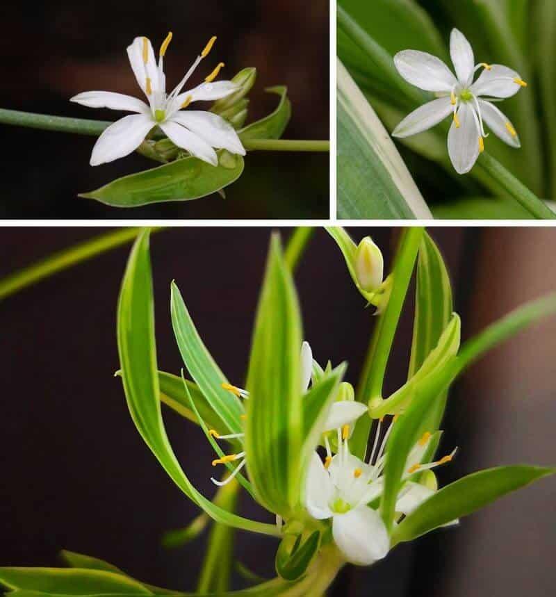 Hoa và chồi mầm của cây mẫu tử