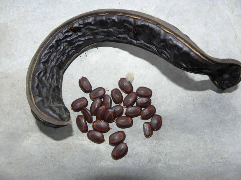 Hạt giống của cây me tây (phương pháp gieo hạt ít được sử dụng)