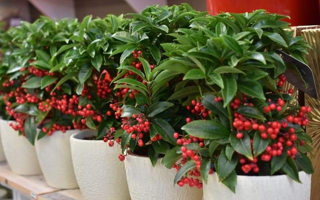 Kim ngân lượng được trồng phổ biến ở nước ta