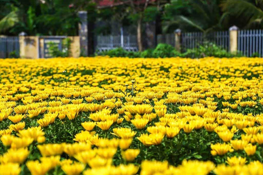 Hình ảnh hoa cúc đại đóa