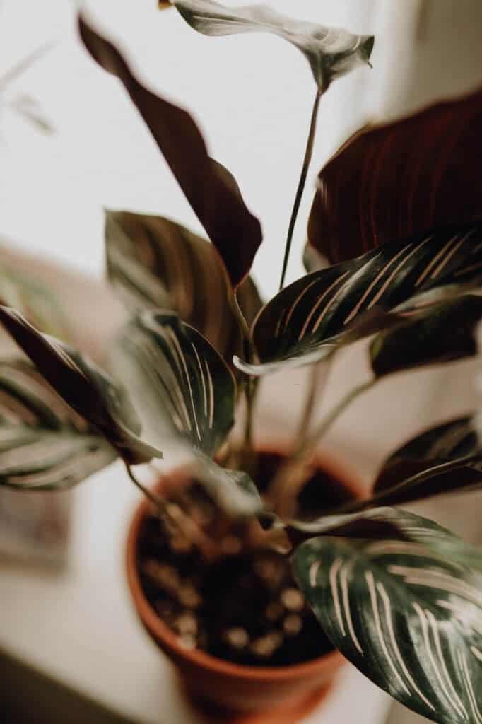 Hình ảnh cây đuôi công
