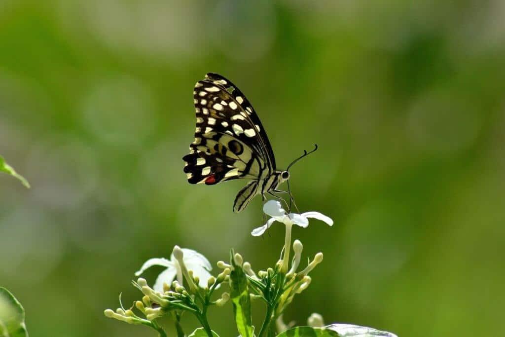 Hoa ngọc bút có hương nên rất thu hút ong bướm