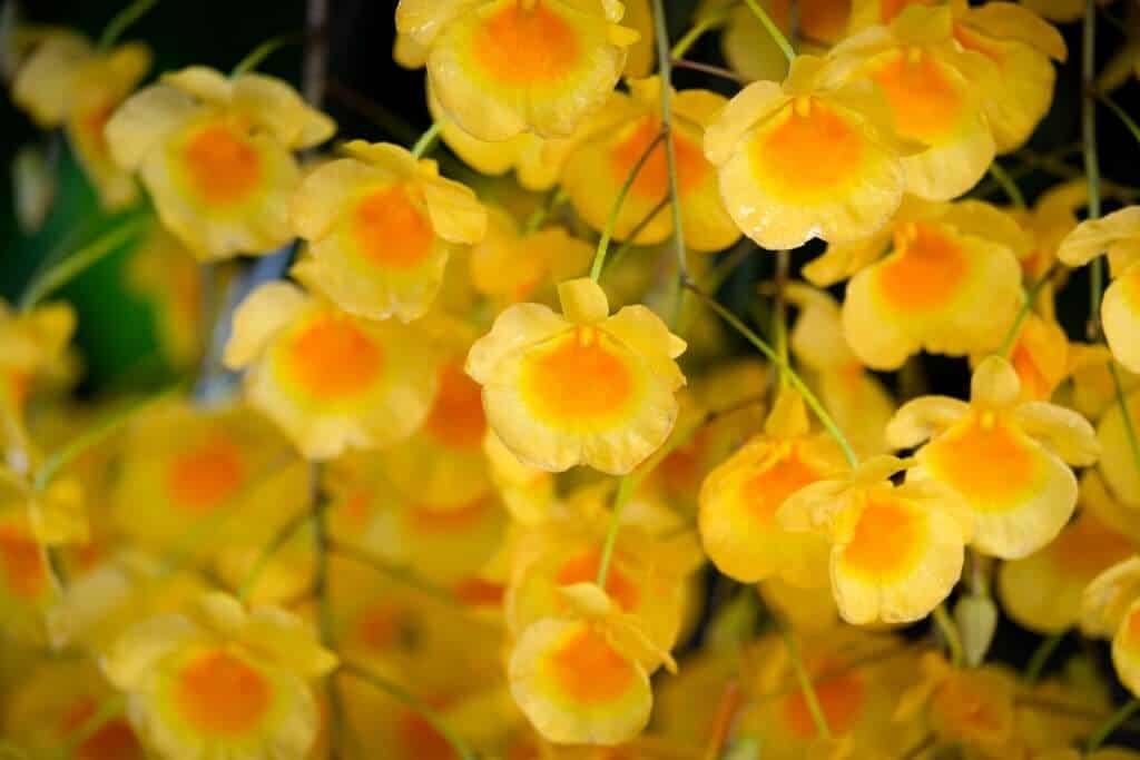Hình ảnh hoa lan vảy rồng
