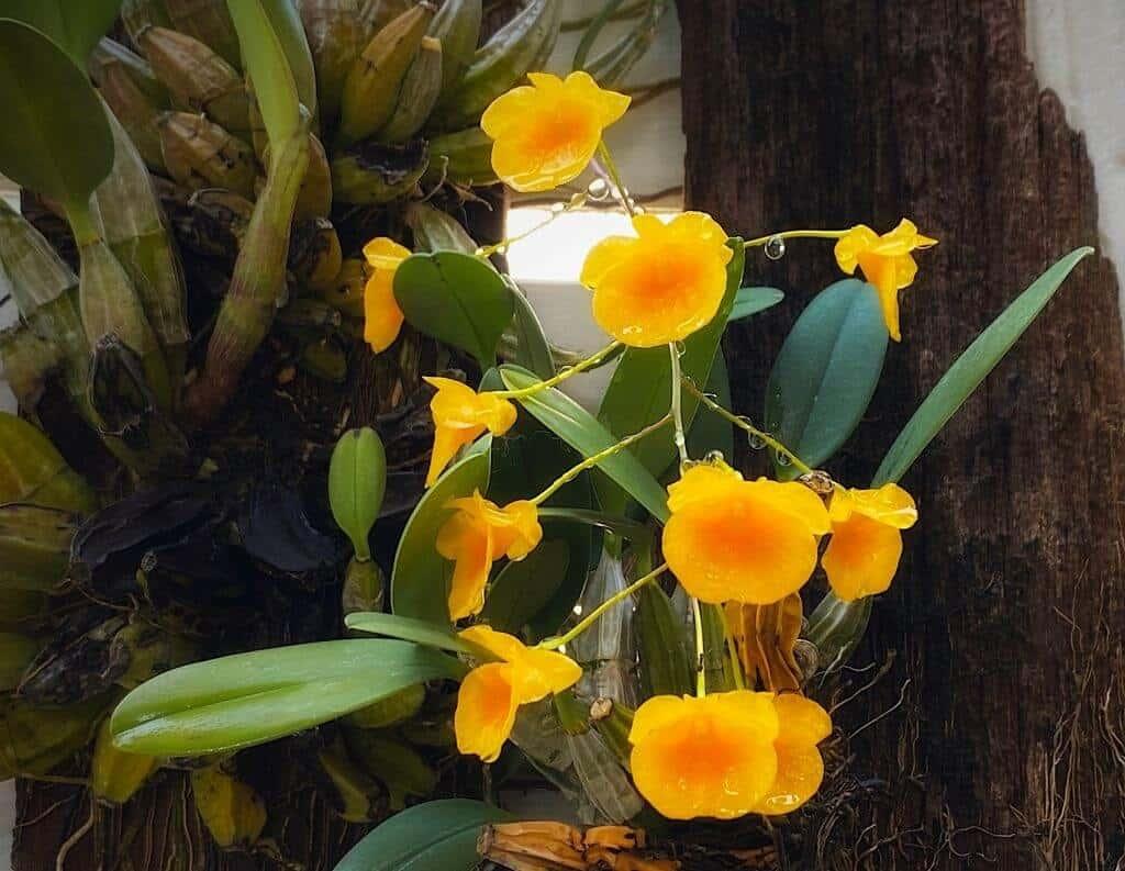 Hoa lan vảy rồng