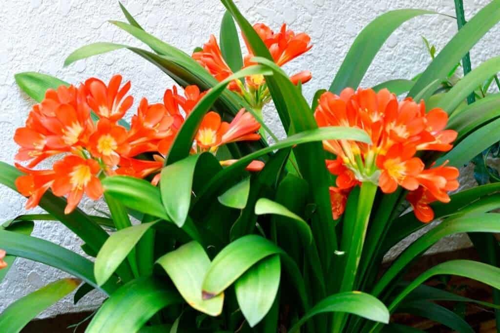 Mất nhiều năm để lan quân tử trưởng thành và ra hoa
