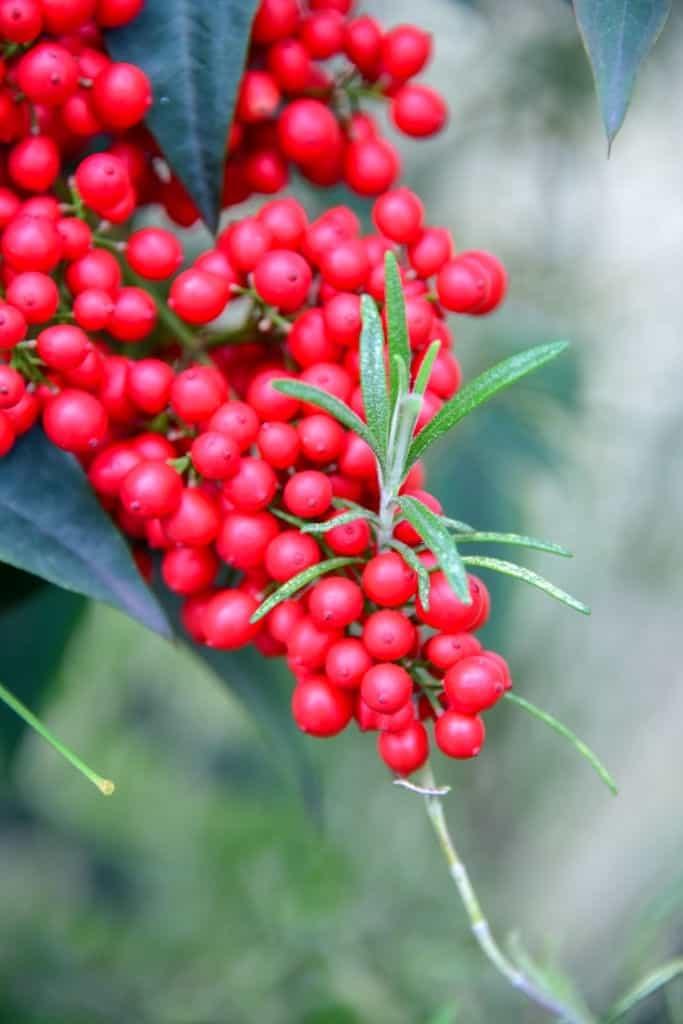 Những chùm quả đỏ rực là phần nổi bật nhất của cây kim ngân lượng