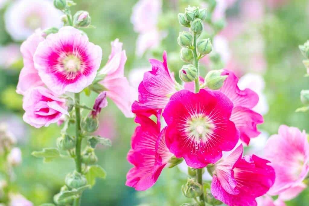 Hoa mãn đình hồng