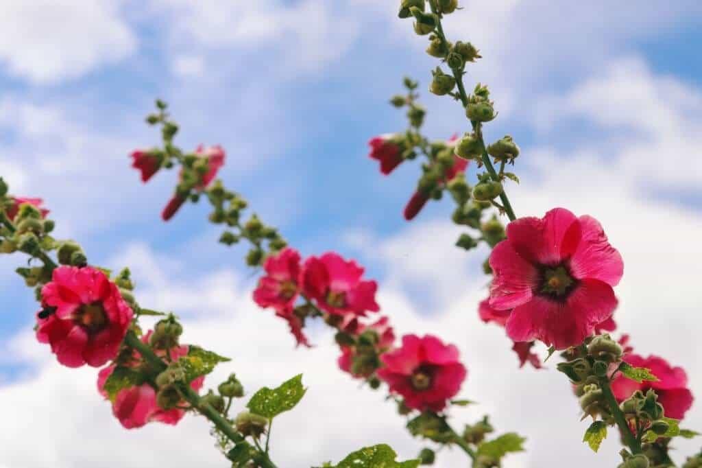 Mãn đình hồng là biểu tượng của những ý nghĩa an lành