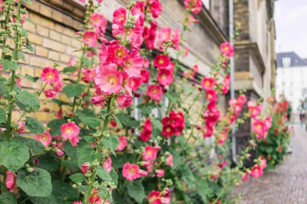 Hình ảnh hoa mãn đình hồng rực rỡ