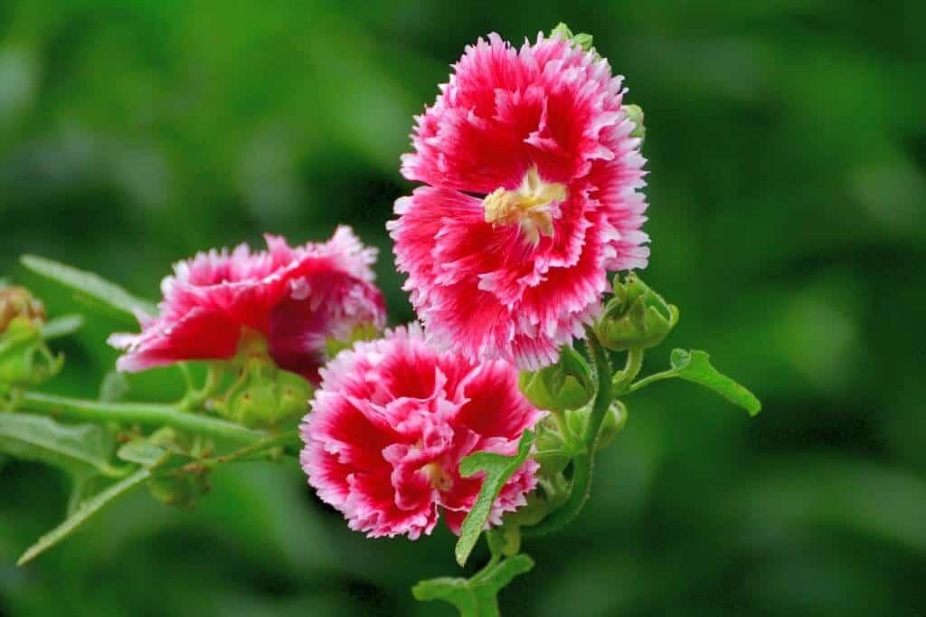 Hoa mãn đình hồng ngày nay xuất hiện phổ biến ở nước ta