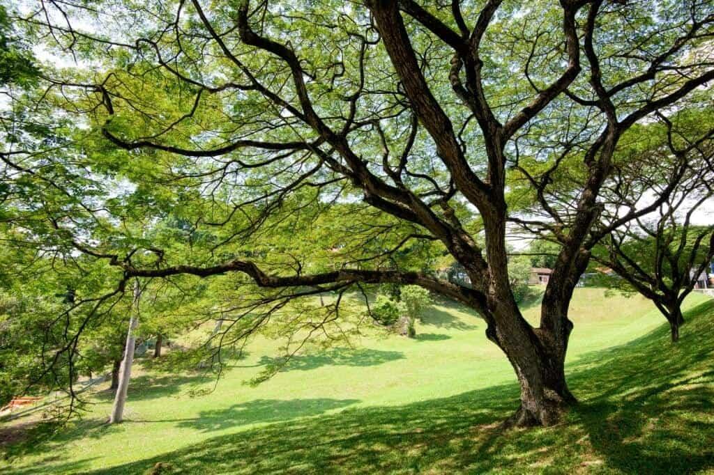 Cây me tây cao lớn ngoài tự nhiên