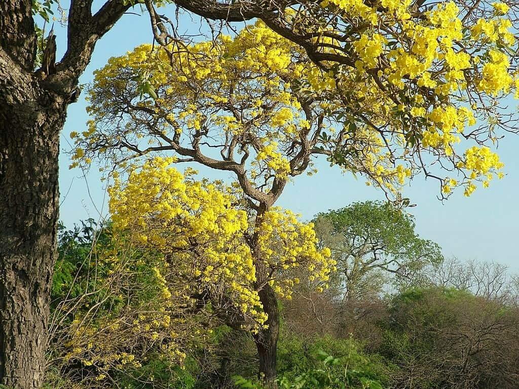 Hình ảnh cây chuông vàng cao lớn ngoài tự nhiên