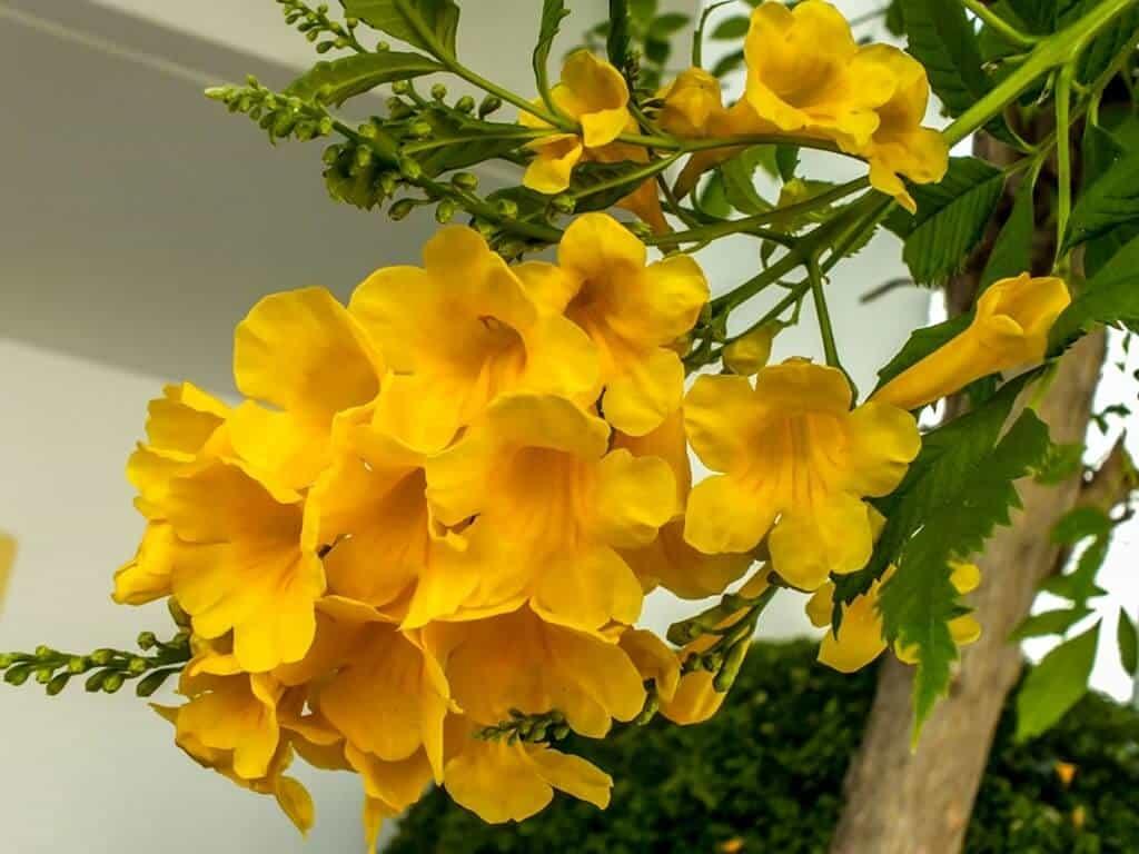 Cận cảnh hoa chuông vàng