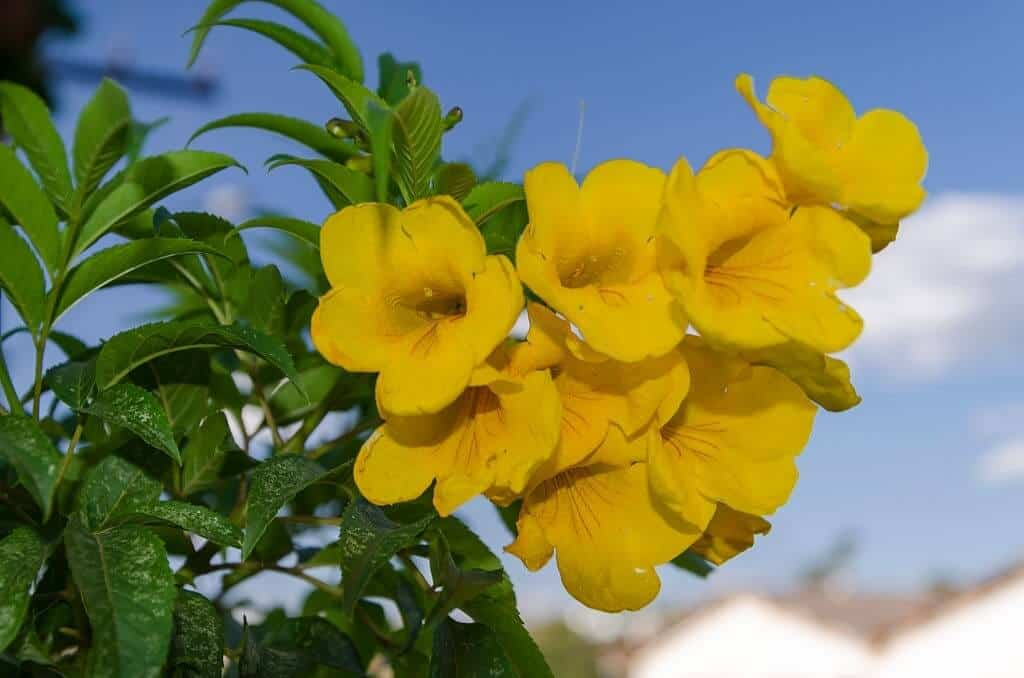 Cây hoa chuông vàng có ý nghĩa tích cực