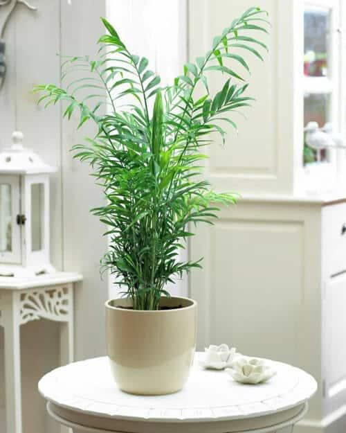 Hình ảnh cây cau tiểu trâm