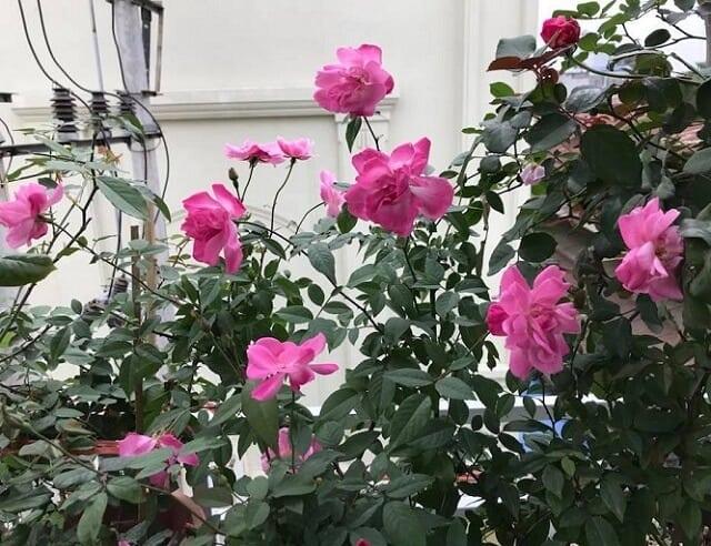 Hoa hồng quế có rất nhiều công dụng