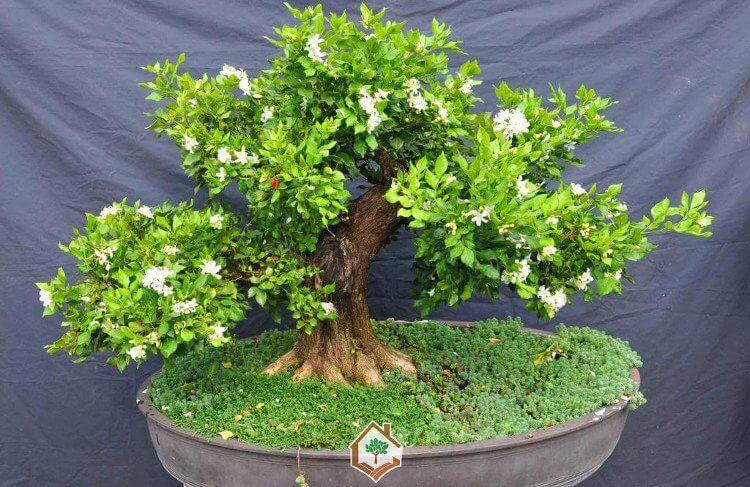 Cây nguyệt quế thân xoăn tạo dáng bonsai
