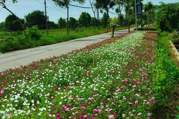 Hoa sam xuất hiện khắp các con đường quê