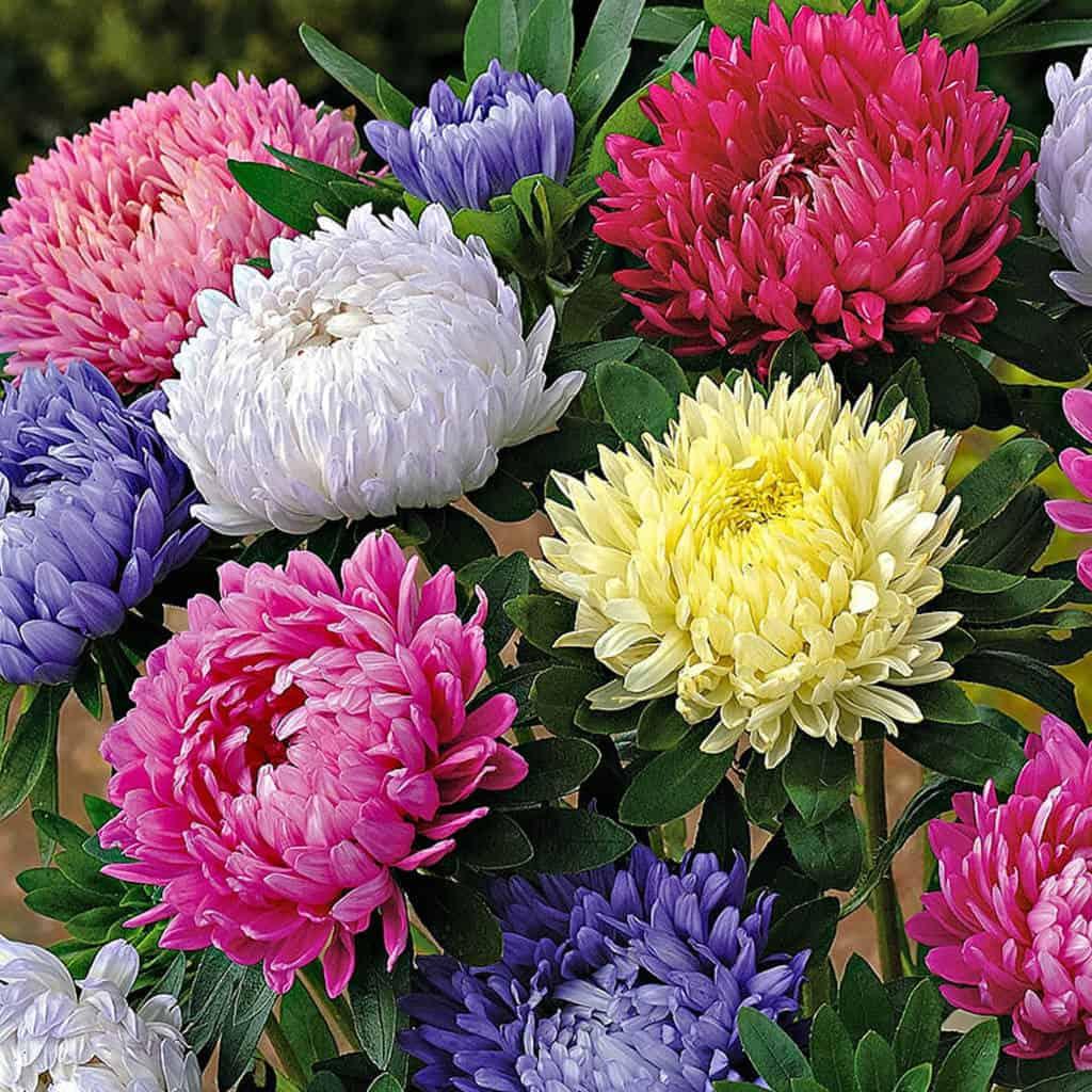 Hoa cúc đại đóa được lai tạo với nhiều màu sắc khác nhau