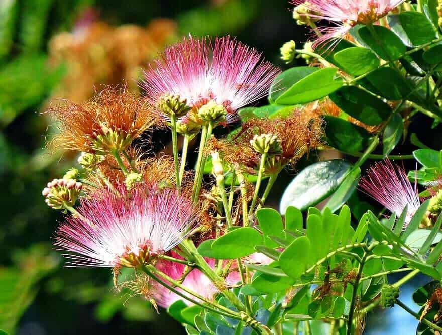 Hoa cây me tây