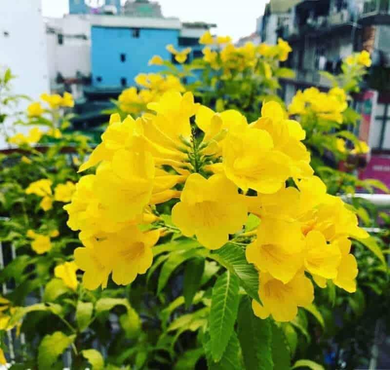 Chuông vàng được trồng rộng rãi trên khắp nước ta