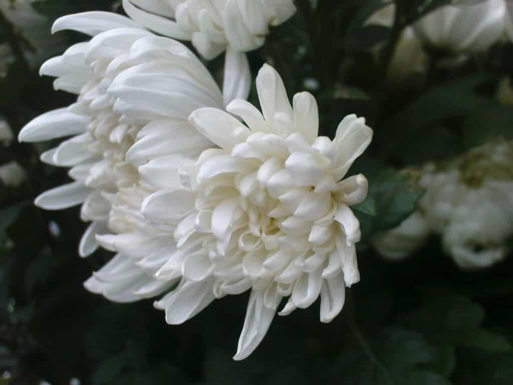 Hoa cúc đại đóa