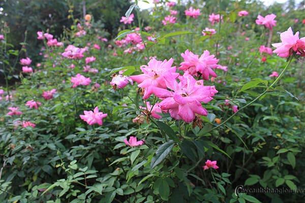 Hình ảnh hoa hồng quế đẹp trang nhã